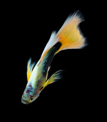 guppy fish isolated on black background