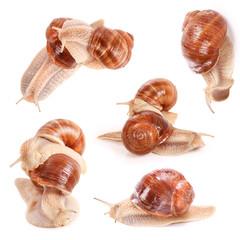 Weinbergschnecken, graipevine snails