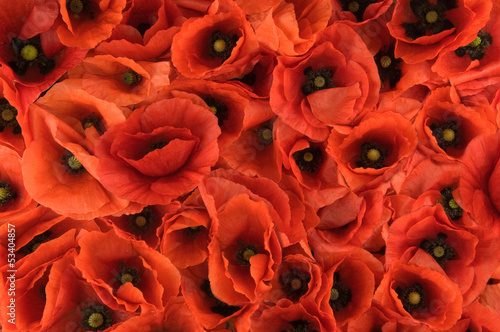 red spring poppies texture background