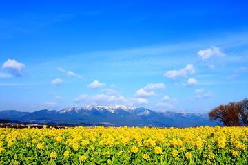 菜の花畑と雪山