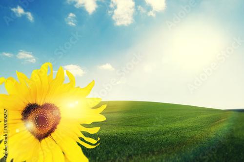 sunny heart sunflower