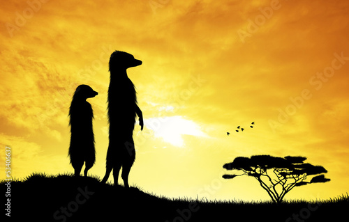 Meerkats at sunset