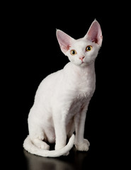 white devon rex cat. isolated on dark background
