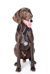 German Shorthaired Pointer with a stethoscope on his neck.