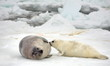 mother harp seal cow and newborn pup on ice