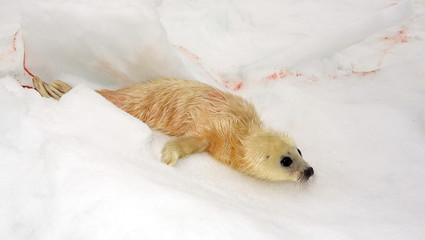 Newborn harp seal pup - just 5 minutes ago
