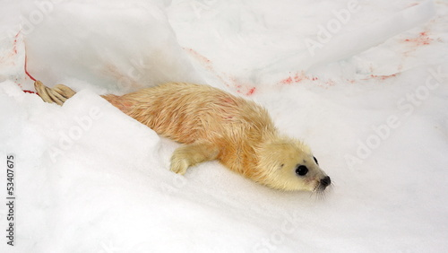 Newborn harp seal pup - just 5 minutes ago