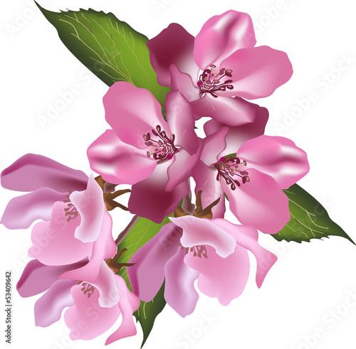 rozowy-kwiat-jabloni-oddzial-na-bialym-tle