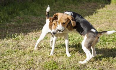 Beagle versus Jack russel