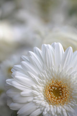 focus on the detail of a bouquet of white gerbera