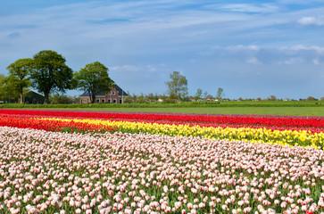 tulip fields and dutch farmhouse