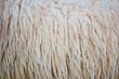 Sheep fur background