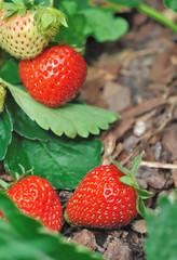 fraises du potager