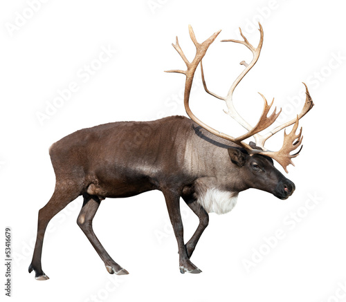 male reindeer over white