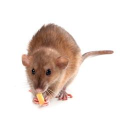 Fancy rat (Rattus norvegicus) eating piece of cheese