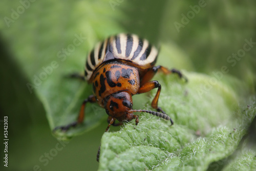 Colorado beetle eating potato leaf extreme close-up photo