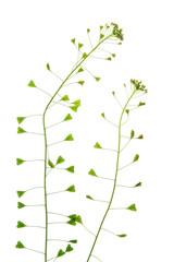 Gewöhnliches Hirtentäschel (Capsella bursa-pastoris)