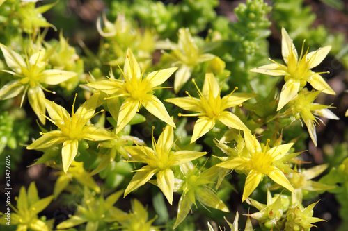 Yellow crassula blossoms