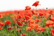 Poppy flower in the meadow (wild poppy flower)
