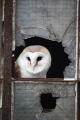 Barn owl, Tyto alba, old iron and glass window