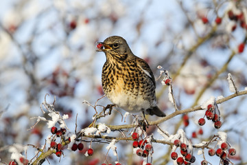 Fieldfare, Turdus pilaris, rowan berries