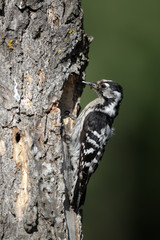 Lesser-spotted woodpecker, Dendrocopos minor, female