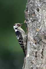 Lesser-spotted woodpecker, Dendrocopos minor, male