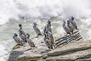 Sptted Shags on a coastal Rock