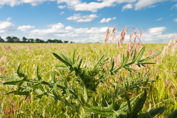 green thistle in Kansas pasture field