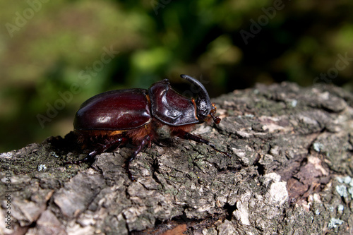brown rhinoceros beetle crawling on wood