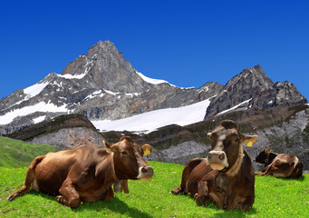 Cow on the meadow.In the background Swiss Alps