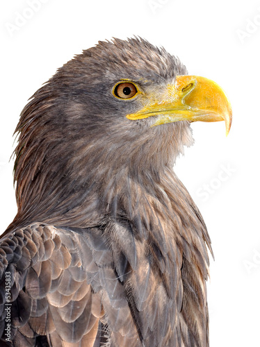sea eagle isolated on white