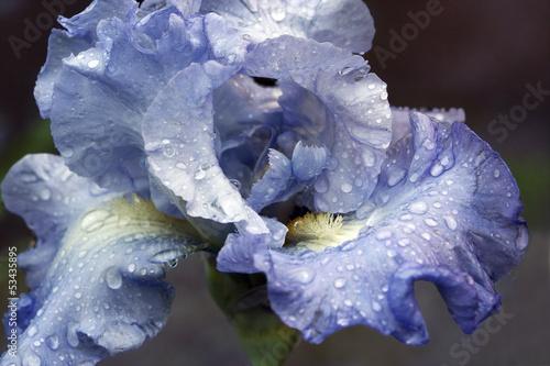 Staande foto Iris Iris with rain drops