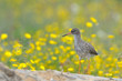 Redshank on a rock with flowers in the background.