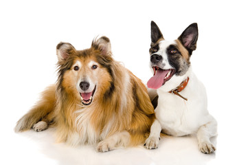 two dogs looking at camera . islated on white background