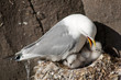 Kittiwake with two chicks on a nest at the cliff.