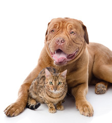 Dogue de Bordeaux (French mastiff) and leopard cat