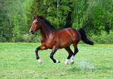 Bay stallion horse running