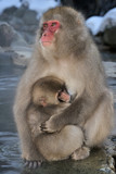 Mother Japanese Macaque with young in her arms.