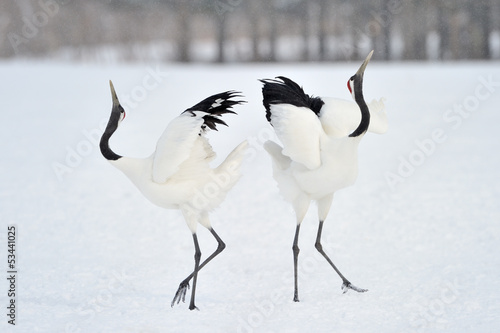 Two Red-crowned Cranes in courtship.