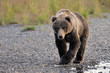 Kodiak Bear walking alongside river.