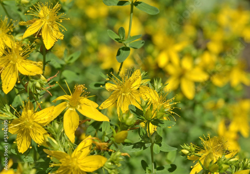 St. John's wort flowers ( Hypericum perforatum)  in summer