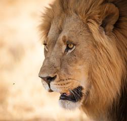 Bright eyes Lion close up