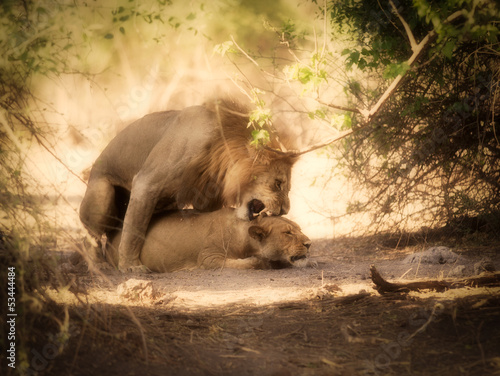 Fotobehang lions mating in bush