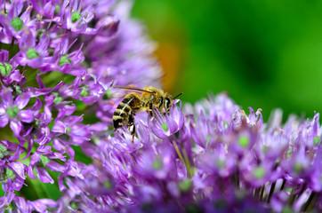 Biene auf Zierlauch lila