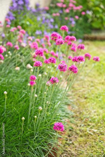 gazon d 39 espagne rose dans un jardin by delphotostock royalty free stock photos 53449097 on. Black Bedroom Furniture Sets. Home Design Ideas