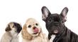 hungry dog licking tongue, tongue licking puppy