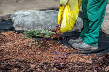 Gardener spills mulch under bush