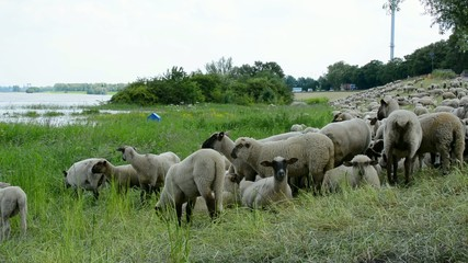 Schafe zur Deichpflege