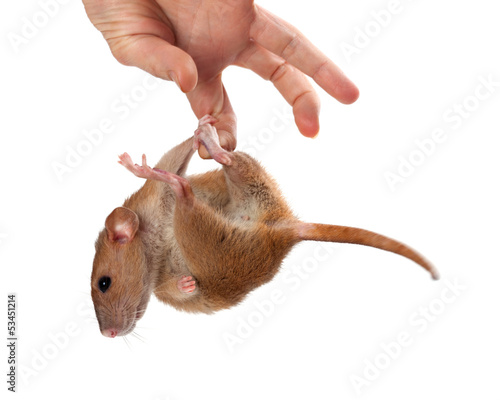 Fancy rat hang on hand